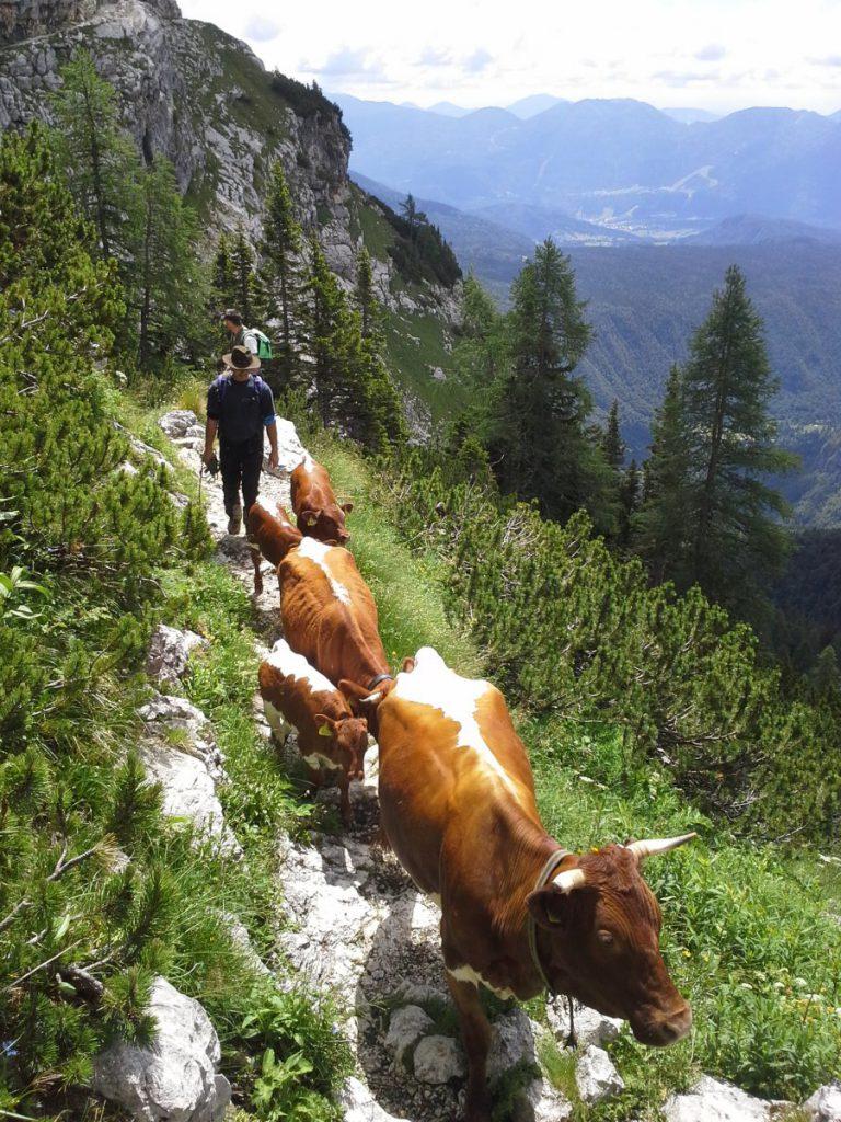 Vodenje krav na Planino Mežakla
