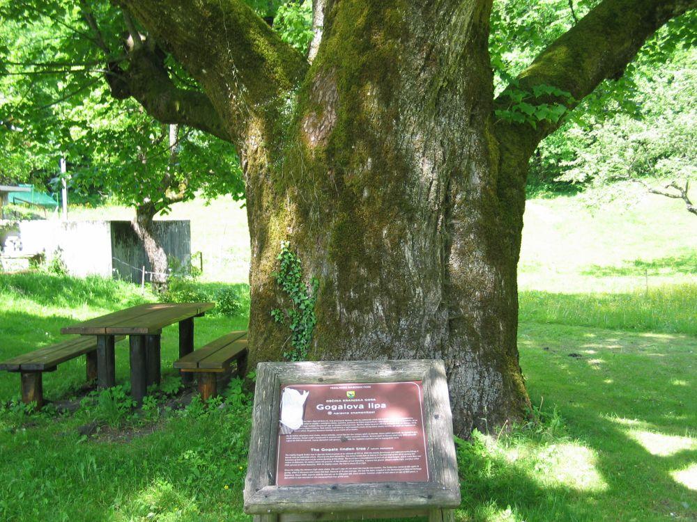 Gogala linden tree